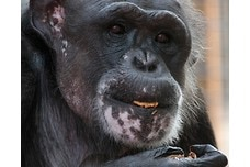 Nuts for Chimpanzee Sanctuary Northwest