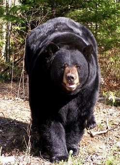 North American Bear Center